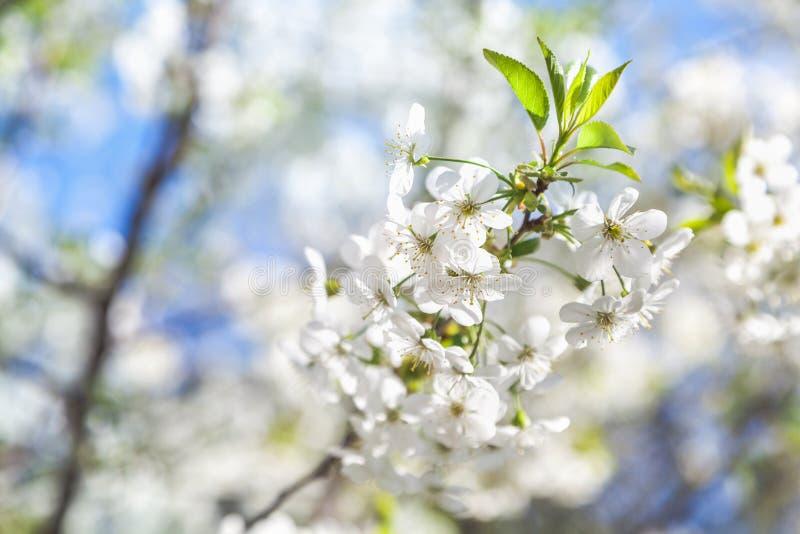 Niederlassung von weißen Kirschblüten und von jungen grünen Blättern lizenzfreie stockfotografie