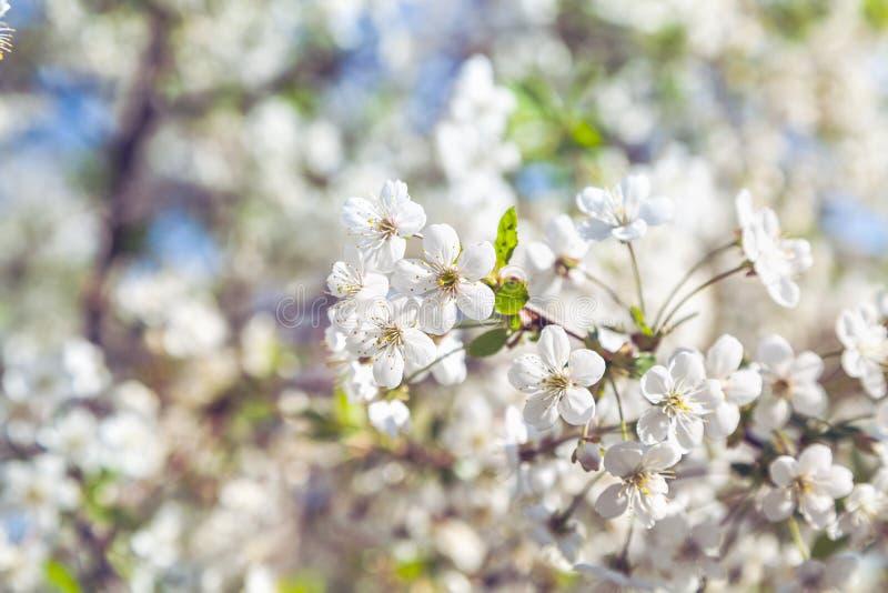 Niederlassung von weißen Kirschblüten und von jungen grünen Blättern lizenzfreie stockbilder