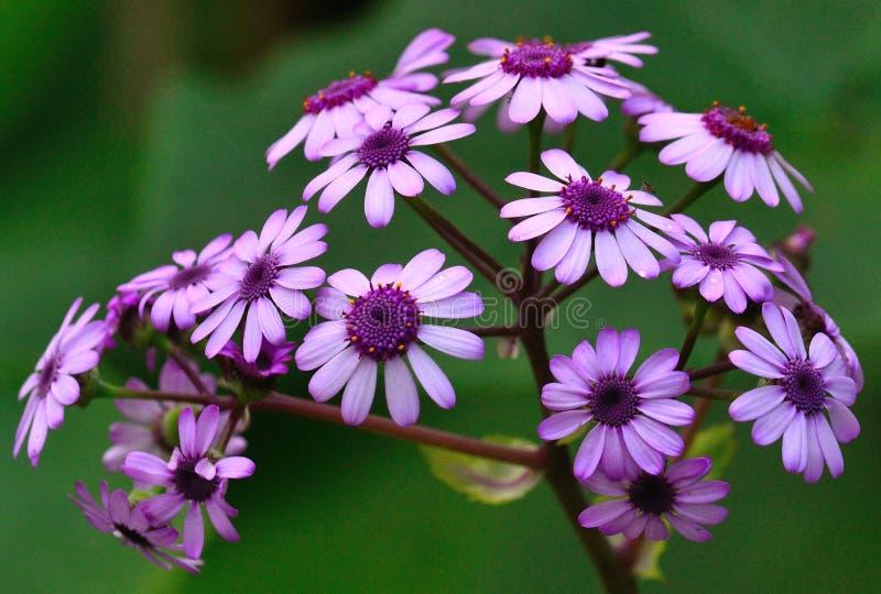 Niederlassung von wilde Blumen Pericallis webbii in seiner Pracht stockfotos