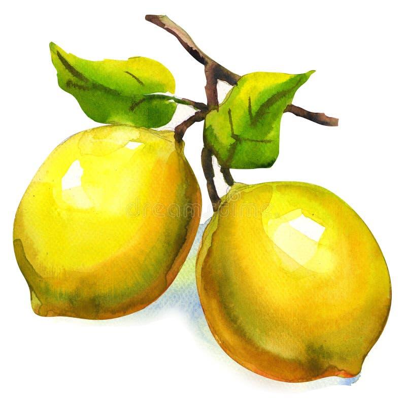 Niederlassung von Zitronen mit den Blättern lokalisiert vektor abbildung