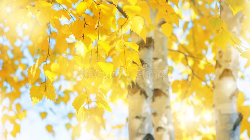 Niederlassungen der Birke mit gelben Blättern im Herbstpark lizenzfreie stockbilder