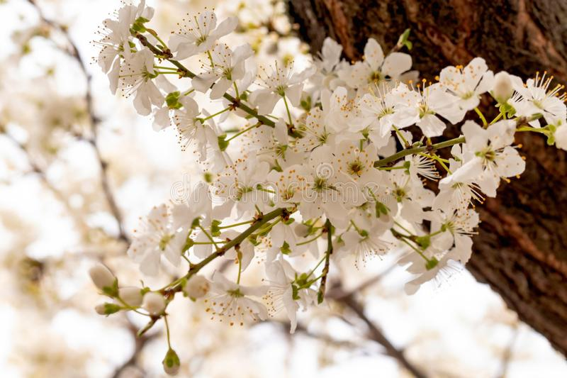 Niederlassungen des blühenden weißen Gartens des Kirschbaums im Frühjahr stockfotos