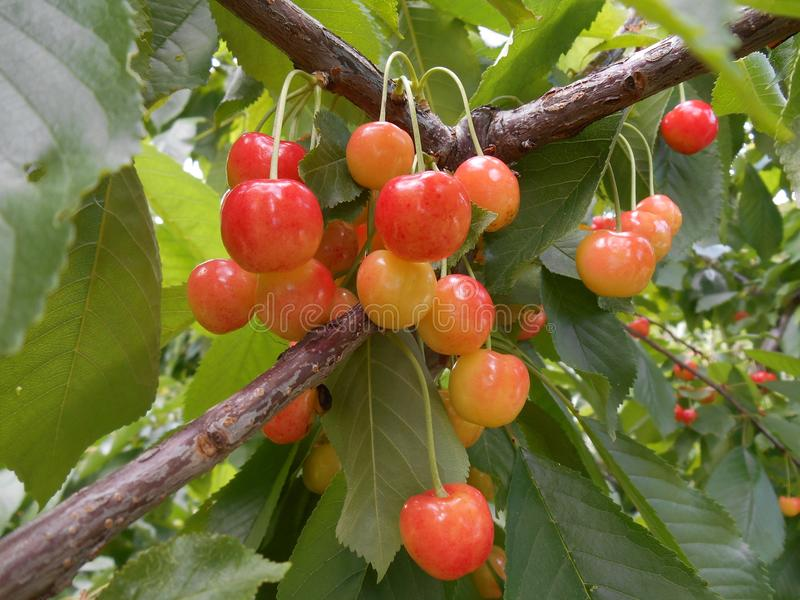 Niederlassungen des Kirschbaums mit reifem orange Beerenobst stockbild