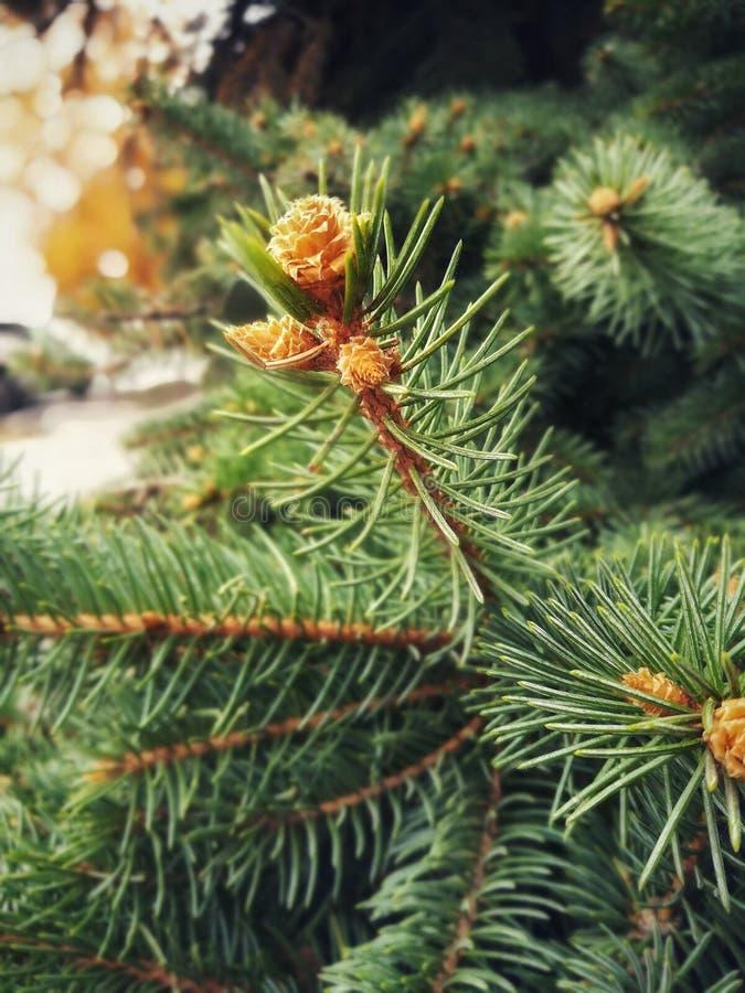 Niederlassungen des Koniferenbaums mit den geschwollenen jungen Knospen stockbild