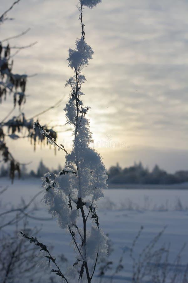 Niederlassungen des trockenen Grases im Schnee lizenzfreies stockfoto