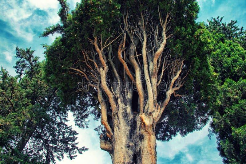 Niederlassungen eines alten Zypressenbaums gegen den Himmel lizenzfreie stockfotos