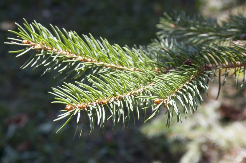 Niederlassungen eines grünen Tannenbaumabschlusses oben stockbild