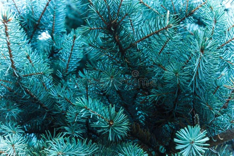 Niederlassungen eines Koniferenbaums der Geruch von Weihnachten stockfoto