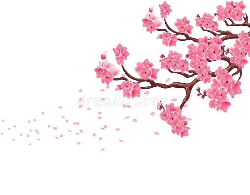 Niederlassungen mit rosa Kirschblüten Kirschblüte Die Blumenblätter fliegen in den Wind Getrennt auf weißem Hintergrund Abbildung lizenzfreie abbildung