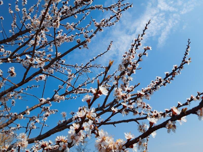 Niederlassungen mit sch?nem Blumenpfirsich stockbilder