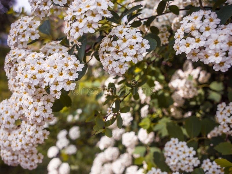 Niederlassungen mit weiße Blumen Reeve Spiraea stockfotos