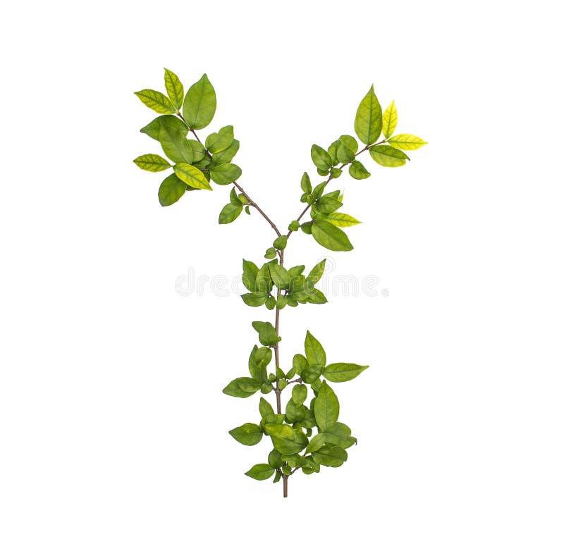 Niederlassungen von grünen Blättern für Decorate lokalisierten lizenzfreie stockbilder