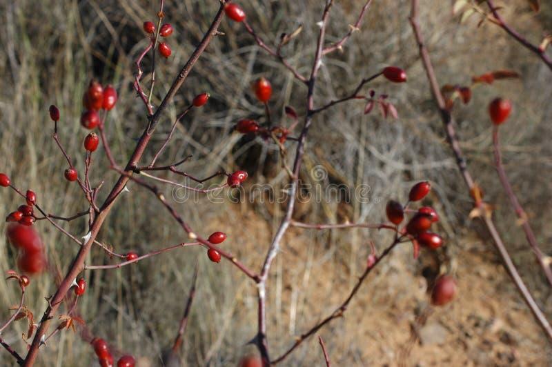 Niederlassungen von Hagebutten und Früchte mit verbreiteter Vegetation als Hintergrund stockfotos