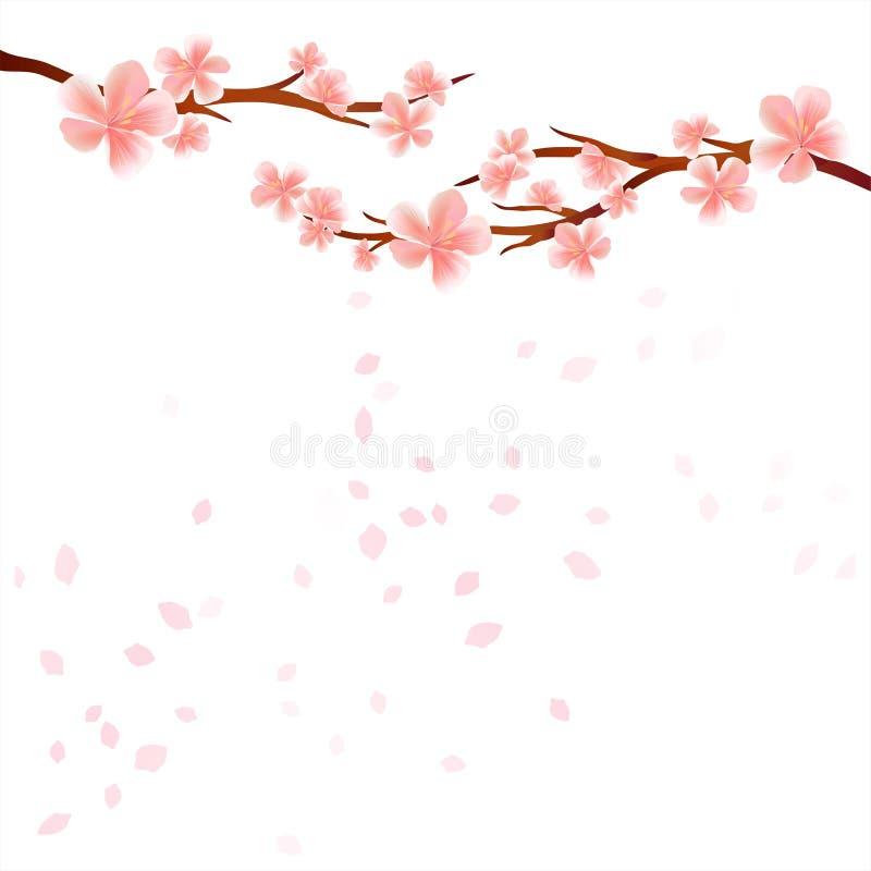 Niederlassungen Von Kirschblüte Mit Rosa Blumen Und Den ...