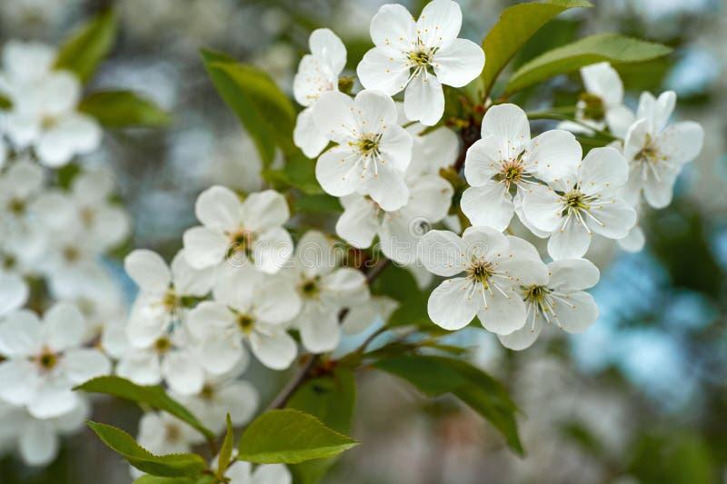 Niederlassungen von Kirschblüten im Garten im Frühjahr lizenzfreies stockfoto