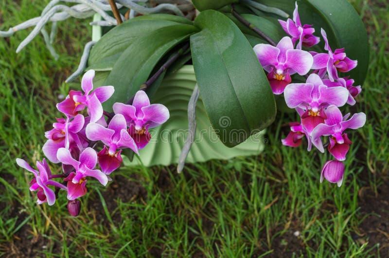 Niederlassungen von sch?nen purpurroten Orchideen in einem Blumentopf auf dem Gras lizenzfreie stockfotografie