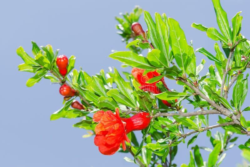 Niederlassungen von sonnenbeschienen roten Blumen Frühling blossomin Granatapfels lizenzfreie stockfotografie