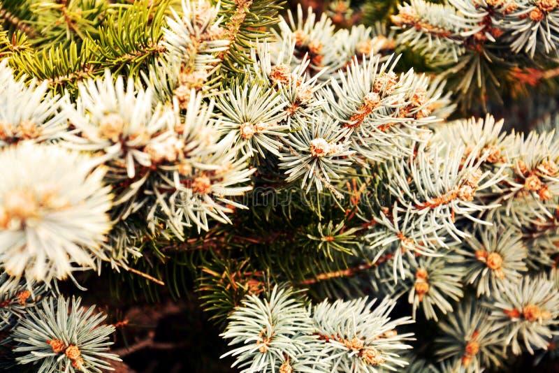 Niederlassungs-Baumhintergrund der Kiefer trockener, natürliche Beschaffenheit des Winters lizenzfreies stockbild