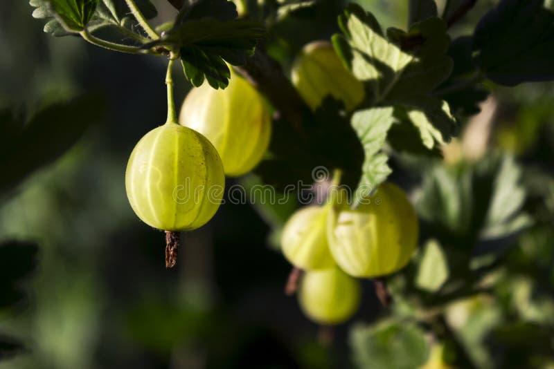 Niederlassungsbusch der grünen Stachelbeere mit reifer Beerenblüte im Garten stockfoto