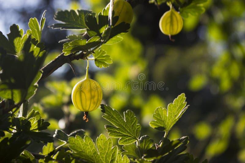 Niederlassungsbusch der grünen Stachelbeere mit reifer Beerenblüte im Garten lizenzfreie stockfotos