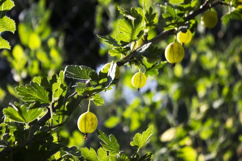 Niederlassungsbusch der grünen Stachelbeere mit reifer Beerenblüte im Garten stockbilder