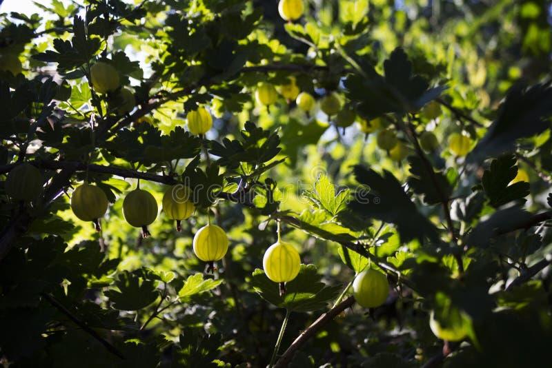 Niederlassungsbusch der grünen Stachelbeere mit reifer Beerenblüte im Garten lizenzfreies stockbild