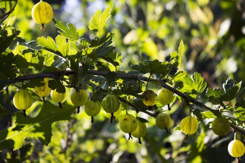 Niederlassungsbusch der grünen Stachelbeere mit reifer Beerenblüte im Garten lizenzfreie stockfotografie
