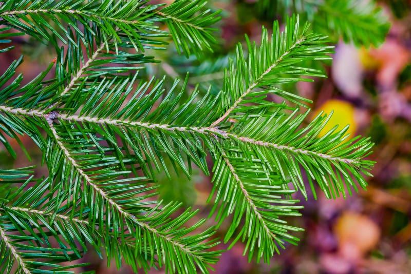 Niederlassungskoniferenbaum à  bies sibÃrica mit grüner Nadelnahaufnahme lizenzfreies stockbild