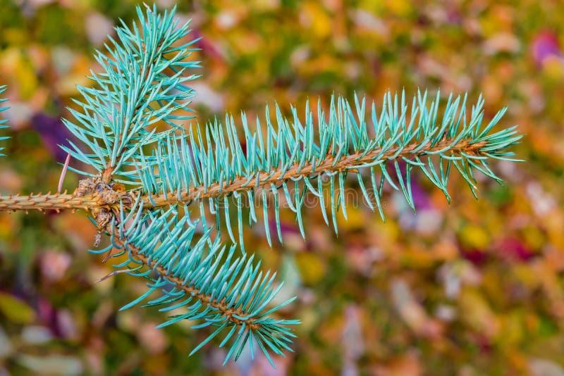 Niederlassungskoniferenbaumfichte mit blauer Nadelnahaufnahme lizenzfreie stockfotos