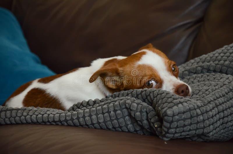 Niederlegender Jack Russel Terrier Dog, Augen öffnen sich stockbild