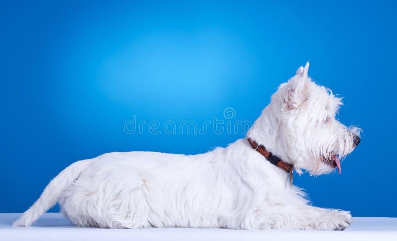 Niederlegung des weißen Terriers des Westhochlands stockfotos