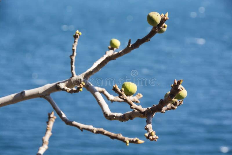 Niedojrzałe figi na gałąź fotografia stock