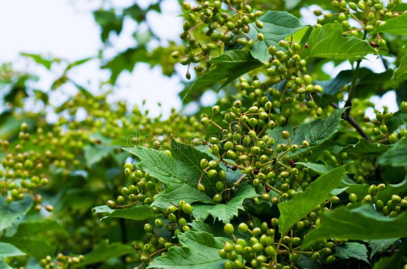 Niedojrzałe jagody viburnum zdjęcie royalty free