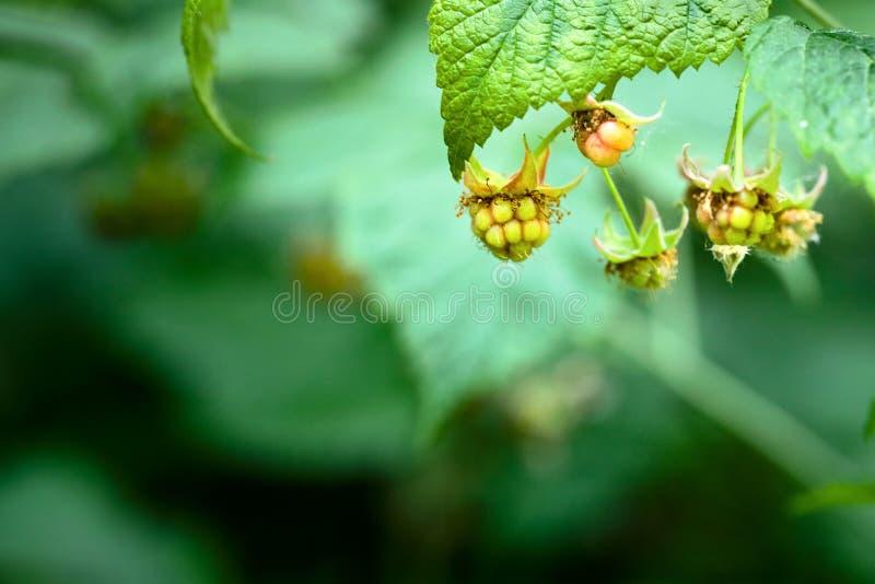 Niedojrzali grona dzikiej malinki jagody z wysuszonymi pączkami na one w górę nadmiernego lata ulistnienia soczystego ciemnozielo fotografia royalty free