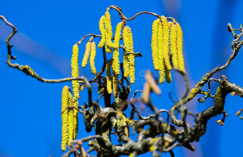 Niedrige Winkelsicht über gelbe Weidenkätzchen auf den gekrümmten bloßen Niederlassungen umfasst mit orange Flechte Xanthoria-par stockfotos