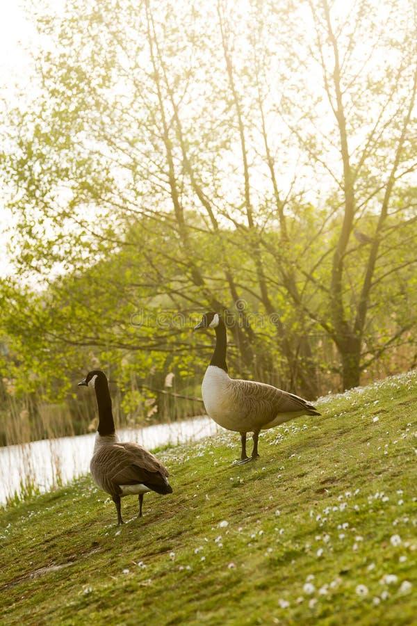 Niedrige Winkelsicht über Paare von wilden gooses Vögeln, die herein am See gehen stockbild