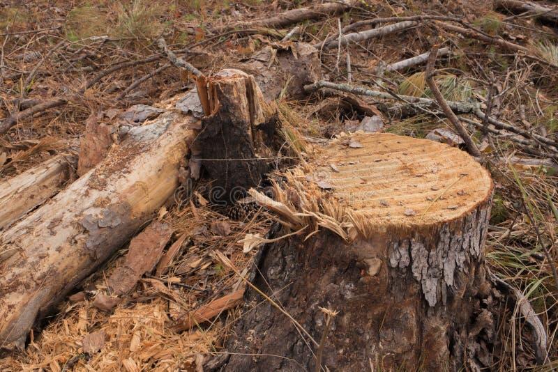 Niedrige Winkelsicht des frisch geschnittenen Baumstumpfs lizenzfreie stockbilder