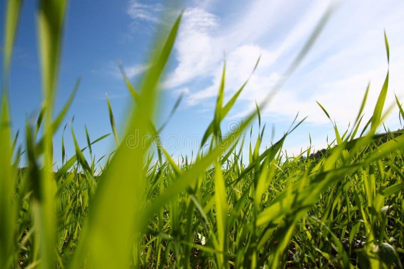 Niedrige Winkelsicht des frischen Grases gegen blauen Himmel mit Wolken Freiheits- und Erneuerungskonzept stockfoto