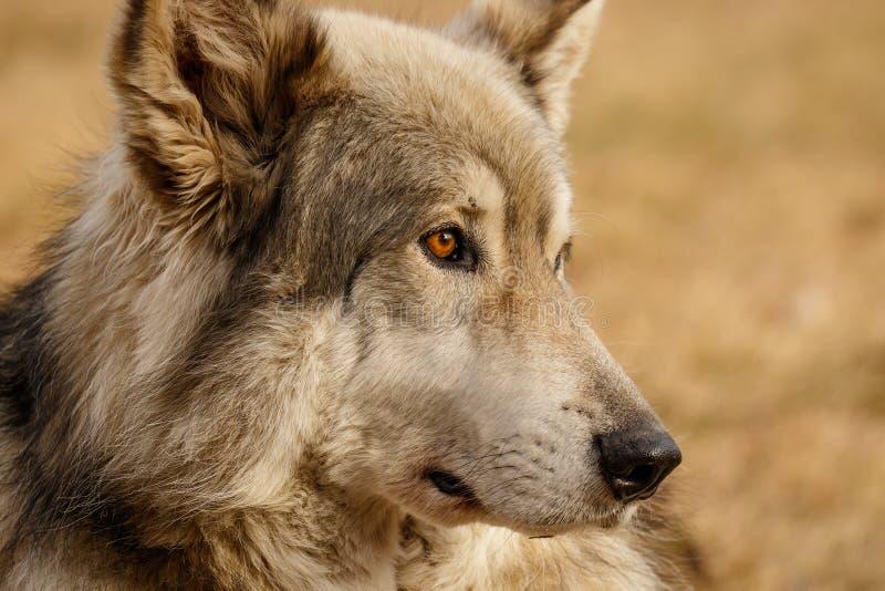 Niedriger zufriedener Wolf in Yamnuska-Schongebiet, Kanada, turistic Anziehungskraft in Cochrane, nettes wolfdog, hart, zu beschä lizenzfreie stockfotos