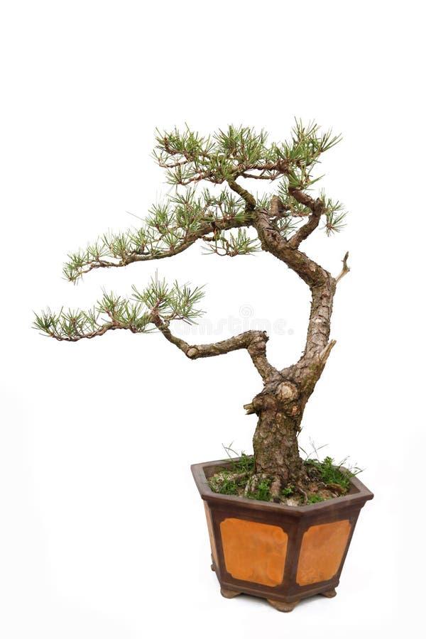Nieformalny upright stylu bonsai drzewo na biel obraz royalty free