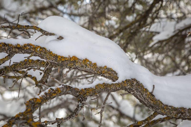 Śnieg na gałąź obrazy royalty free