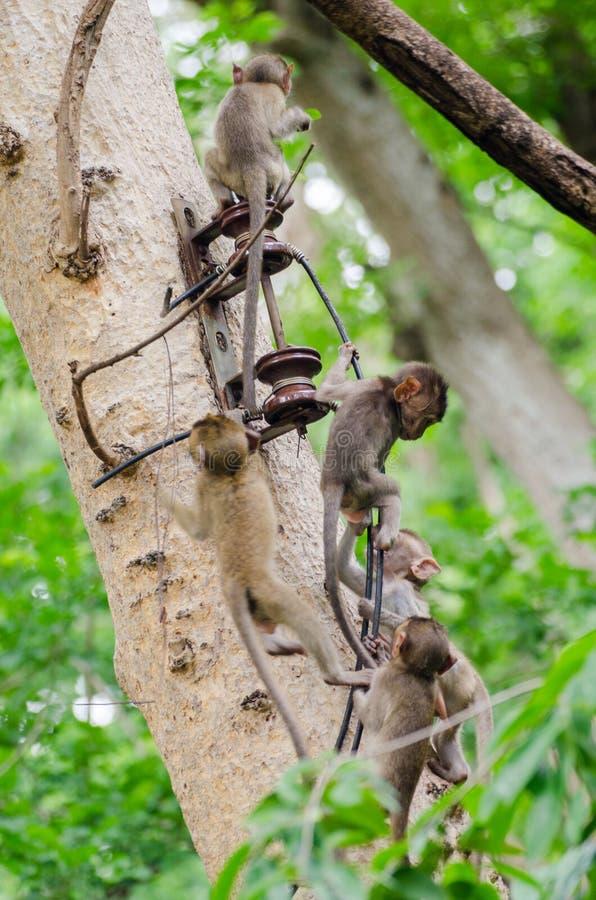 Niegrzeczne małpy obrazy royalty free