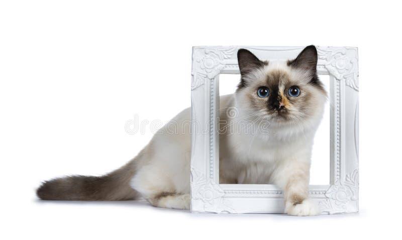 Niegrzecznego tortie Birman Święty kot odizolowywający na białym tle obrazy royalty free