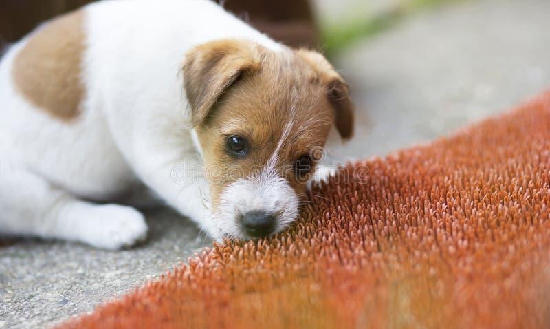 Niegrzeczny dźwigarki Russell zwierzęcia domowego psa szczeniaka żuć fotografia royalty free