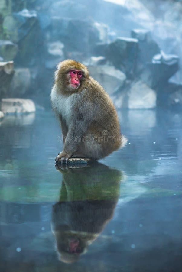 ?niegu ma?pi lub Japo?ski makak w gor?cej wio?nie onsen zdjęcie royalty free