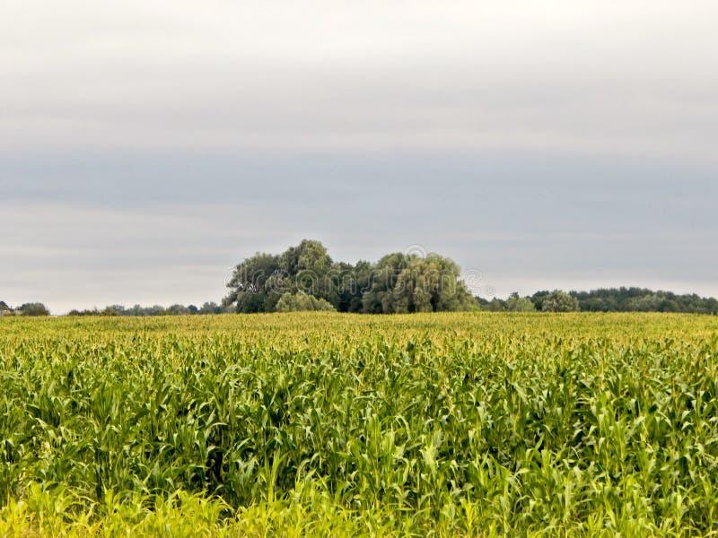 Niekończący się kukurydzany pole rozciąga horyzont zdjęcia royalty free