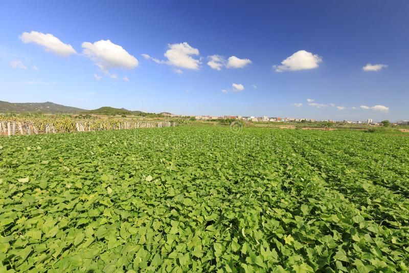 Niekończący się taro pola, adobe rgb zdjęcia royalty free
