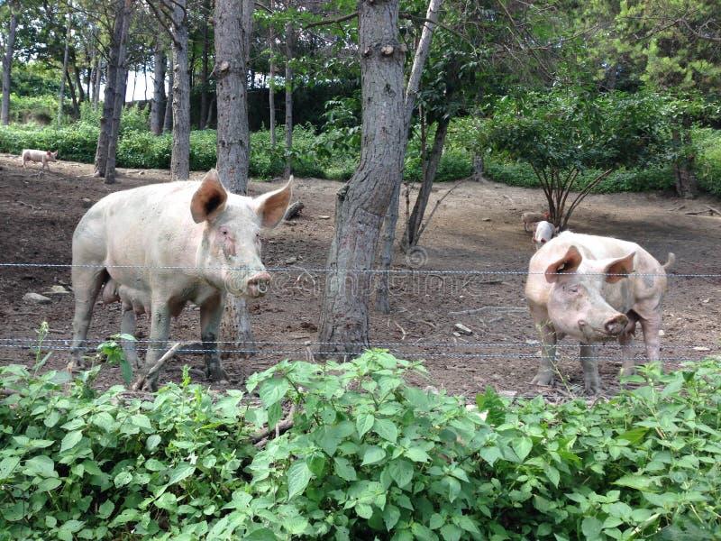Niektóre świnie outdoors w drewnach obraz royalty free
