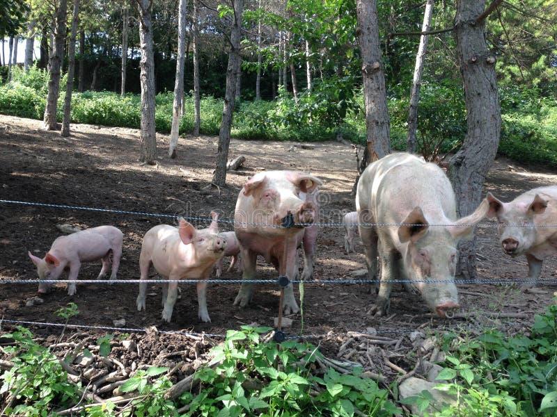 Niektóre świnie outdoors w drewnach obrazy stock