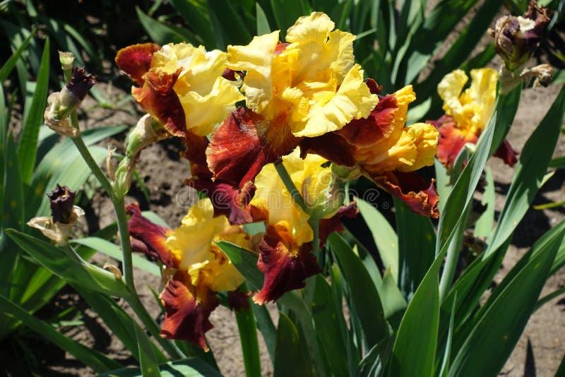 Niektóre żółci kwiaty irys i czerwień obraz stock